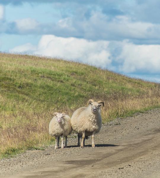 At a sheep farm in Hvalfjordur
