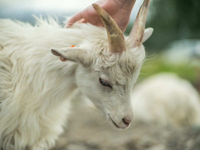 Sweet Icelandic goat kid at Haafell