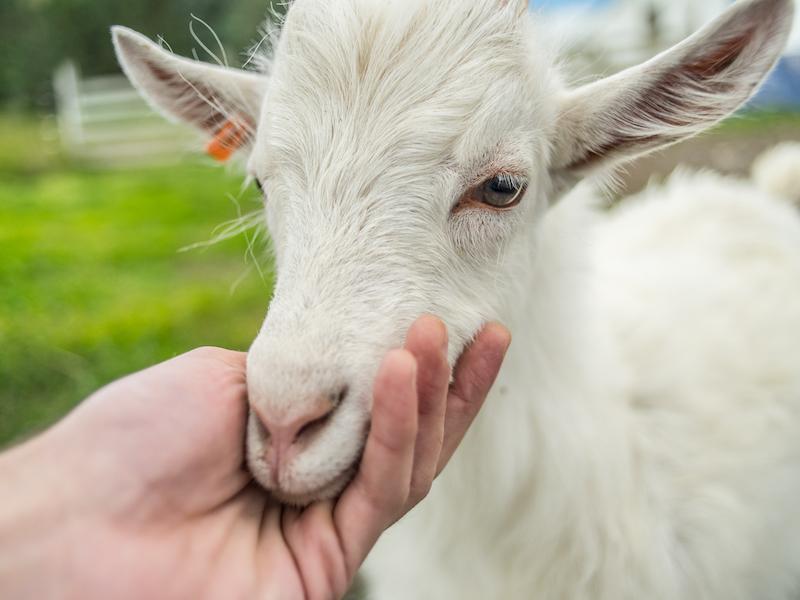 Icelandic goat baby