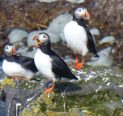 Birth of Spring. Puffins