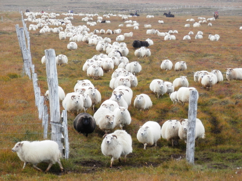 Sheep-round up in Iceland